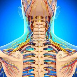 14926641-circulatorio-y-el-sistema-nervioso-de-la-vista-posterior-de-la-espalda-aislado-en-azul[1]