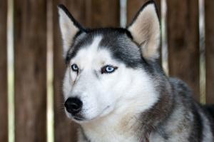 husky-dog-609553_1280