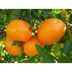 clementina-nules-fruta-10-kg